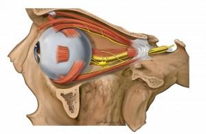 Trajecto posterior do Nervo Óptico
